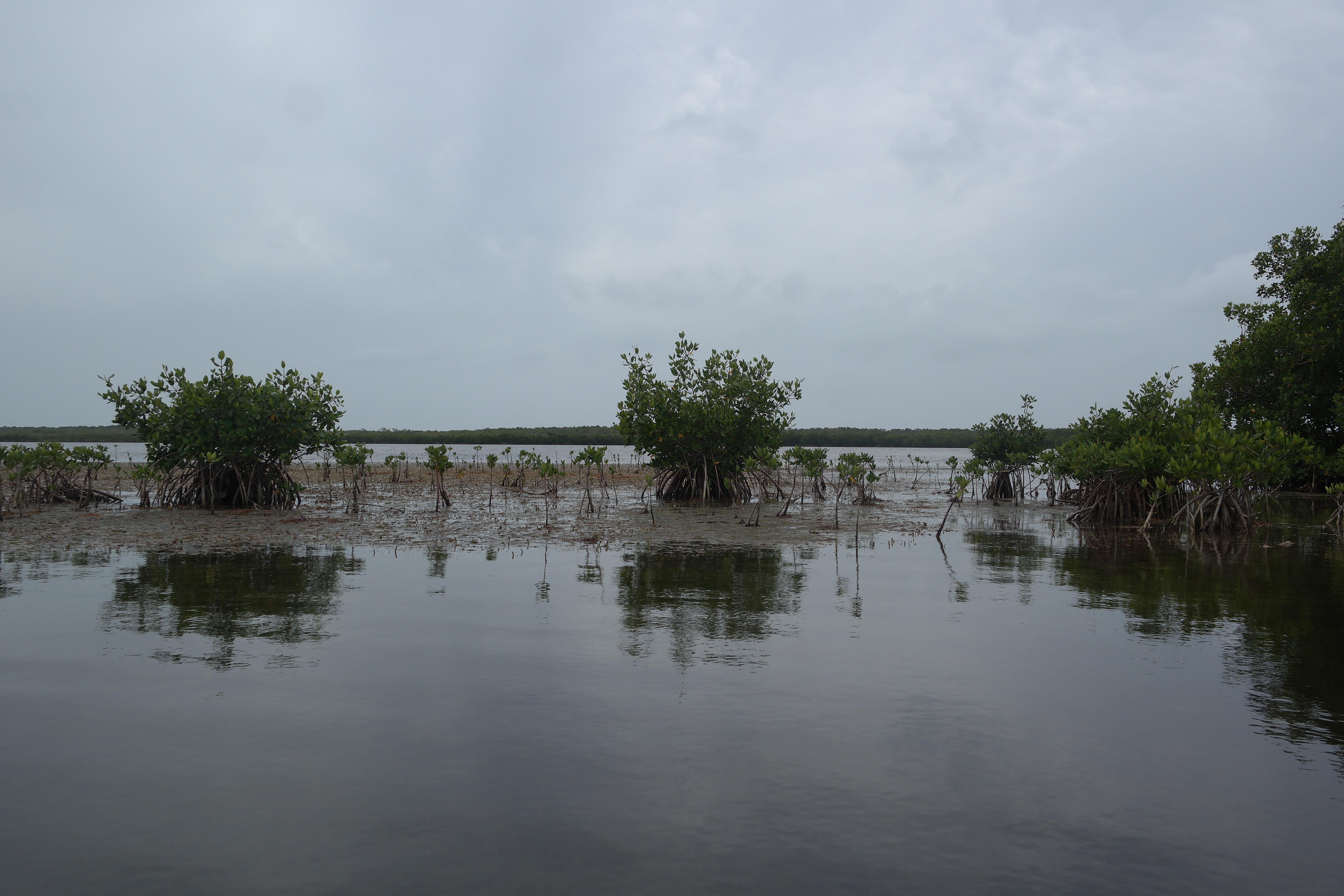 Mangroves John Pennekamp