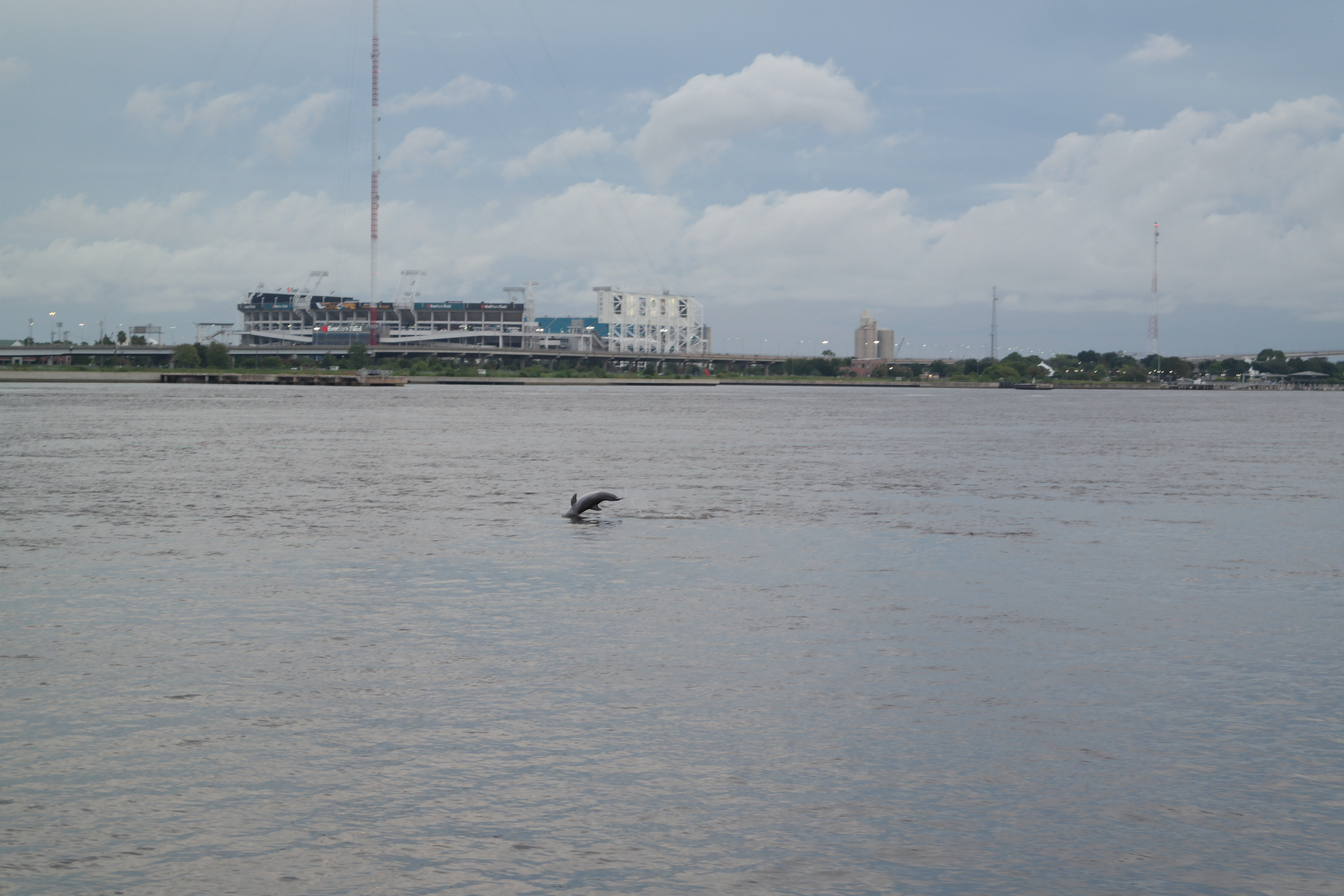 Dolphins In St John's River
