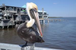 Pelican Cedar Key Pier