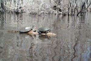 Suwannee River Turtles