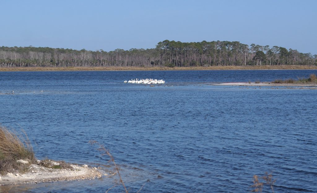 White Pelicans St Marks