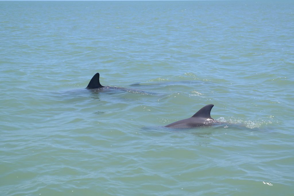 Dolphins Off Cape Romano
