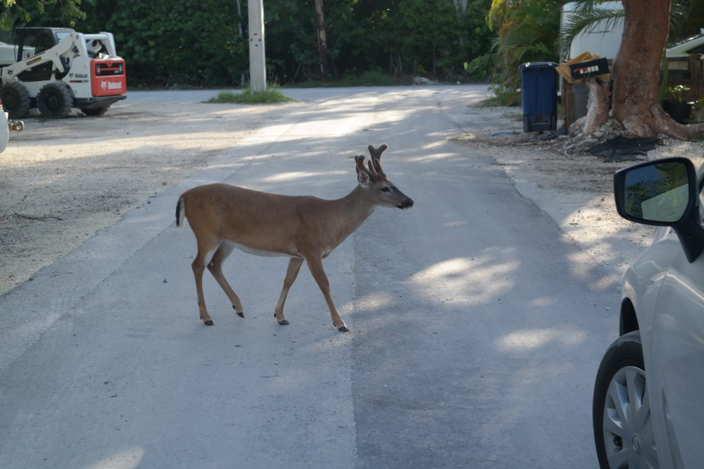 Key Deer Big Pine Key