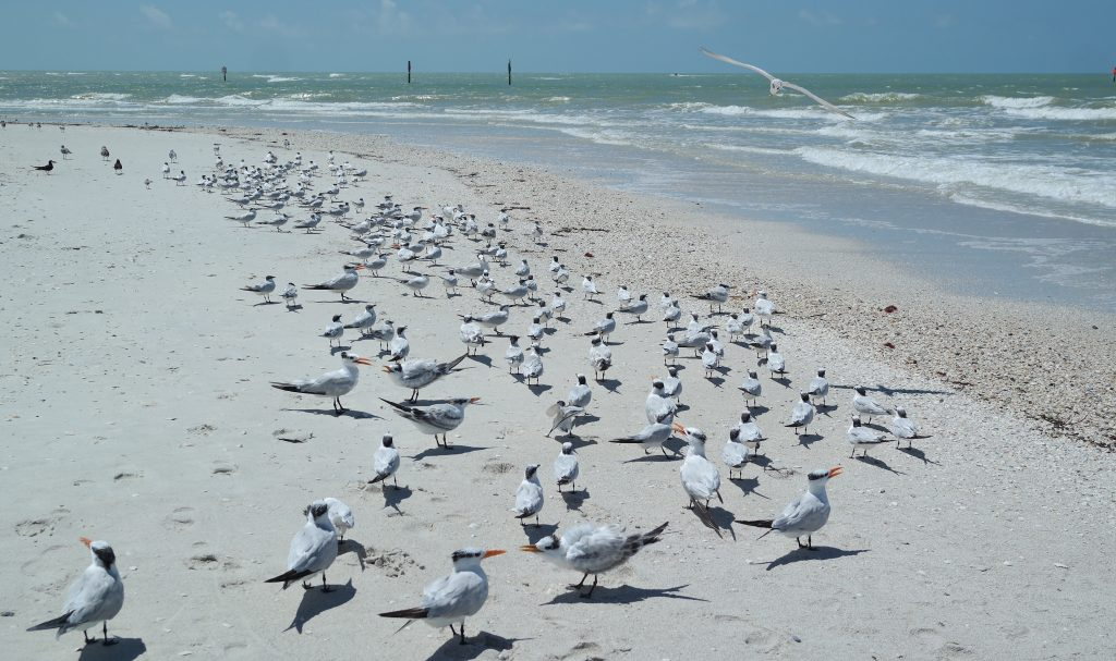Terns At Barefoot Beach
