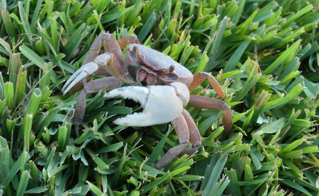 Crab at Deering Estate